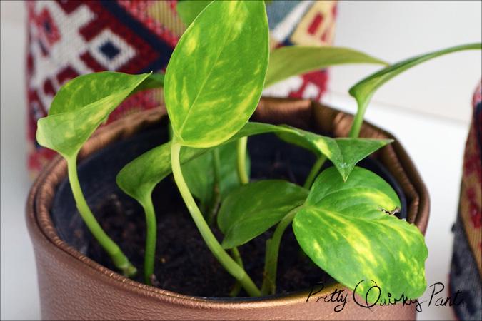 propogated pathos or money plant 23