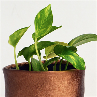 propogated pathos or money plant feature