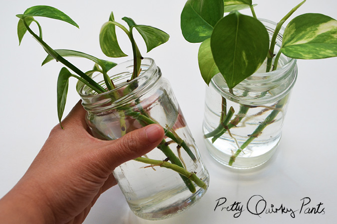 propogated pathos or money plant in water