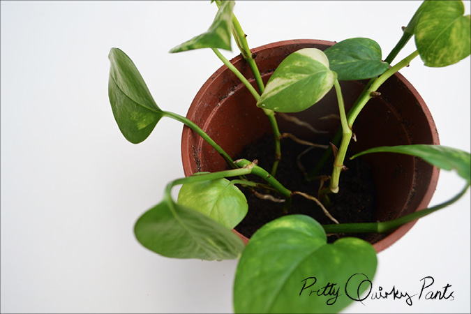 propogated pathos or money plant potted