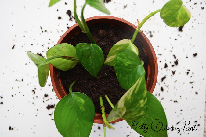 propogated pathos or money plant